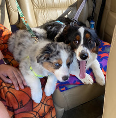 Two Australian Shepherd Puppies
