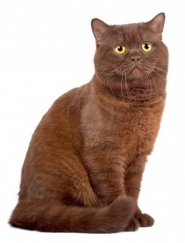 chocolate brown cat -MissMeowni.com