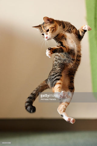dancing jumping cat -MissMeowni.com