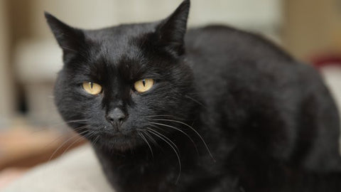 beautiful black cat -MissMeowni.com