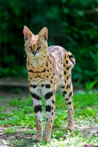 exotic cats serval -MissMeowni.com
