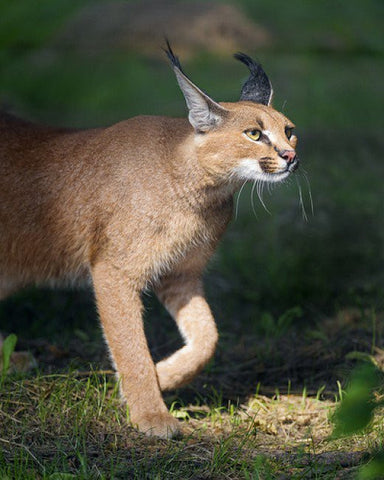 caracal cat pet -MissMeowni.com