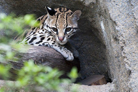 cute pet Ocelot -MissMeowni.com