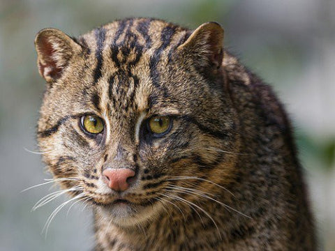 fishing cat pet -MissMeowni.com