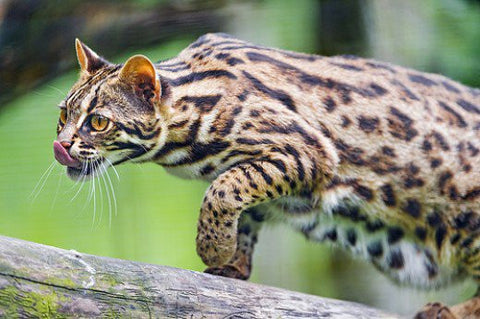 rare asian leopard cat -MissMeowni.com