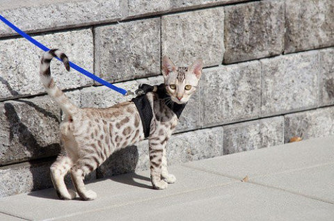 pet savannah cat -MissMeowni.com