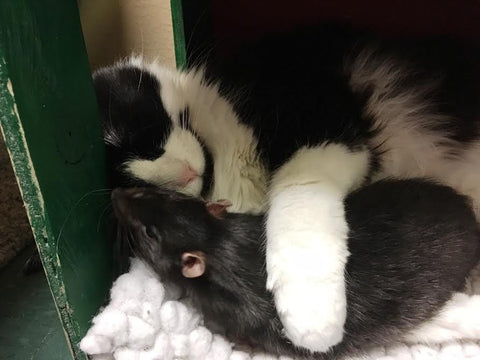 cat loves to cuddle rat -MissMeowni.com