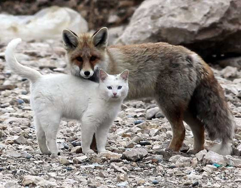 cat and fox are friends -MissMeowni.com