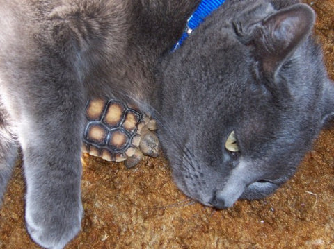 cat loves tortoise -MissMeowni.com