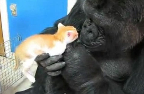 gorilla loves kitty -MissMeowni.com
