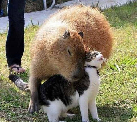 cat and a capybara -MissMeowni.com