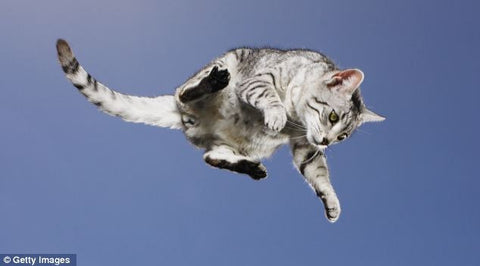 cute grey cat jumping -MissMeowni.com
