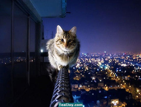 cat live on the edge -MissMeowni.com