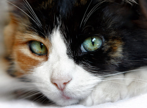 cute calico cat -MissMeowni.com