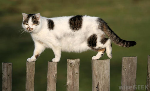 cat stands on fence -MissMeowni.com