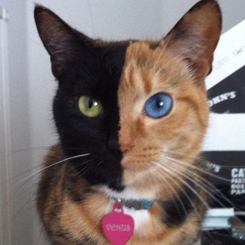 two faced cat -MissMeowni.com