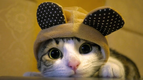 cute cat in the hat -MissMeowni.com