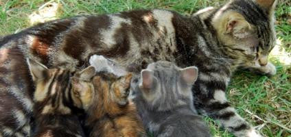 cats nursing on mom -MissMeowni.com