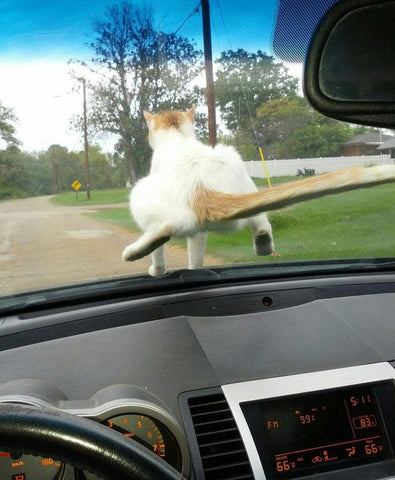 cat riding on car -MissMeowni.com