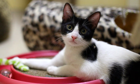 cat cafe adoption -MissMeowni.com