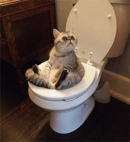 cat on toilet- MissMeowni.com