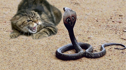 cat fights snake -MissMeowni.com