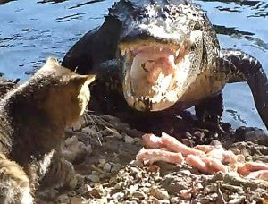 cat faces alligator -MissMeowni.com