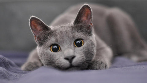 cute gray cat -MissMeowni.com