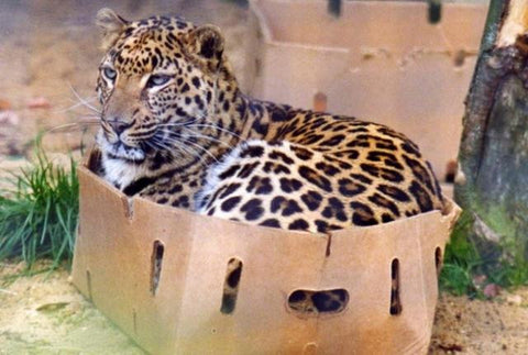 cheetah in a box -MissMeowni.com