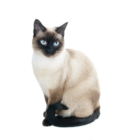 pretty siamese cat -MissMeowni.com