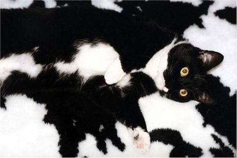 Camo cat blends with cow -MissMeowni.com