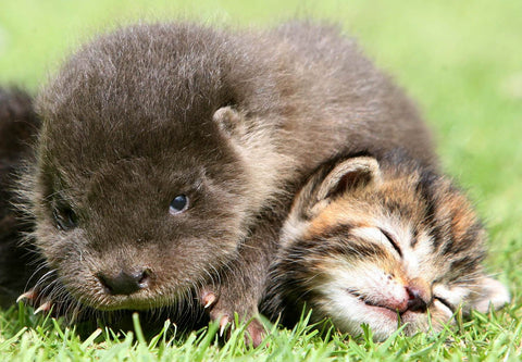 otter and kitten bff -MissMeowni.com