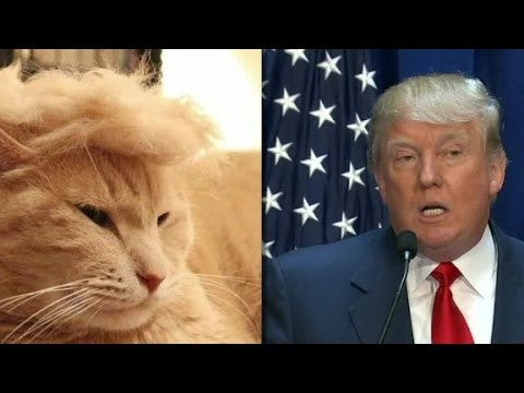 Trump as a Cat -MissMeowni.com