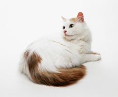 Turkish Van Cat -MissMeowni.com