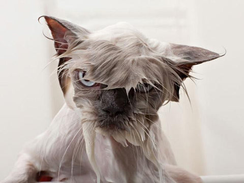 cute angry wet cat -MissMeowni.com