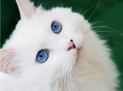 beautiful white cat -MissMeowni.com