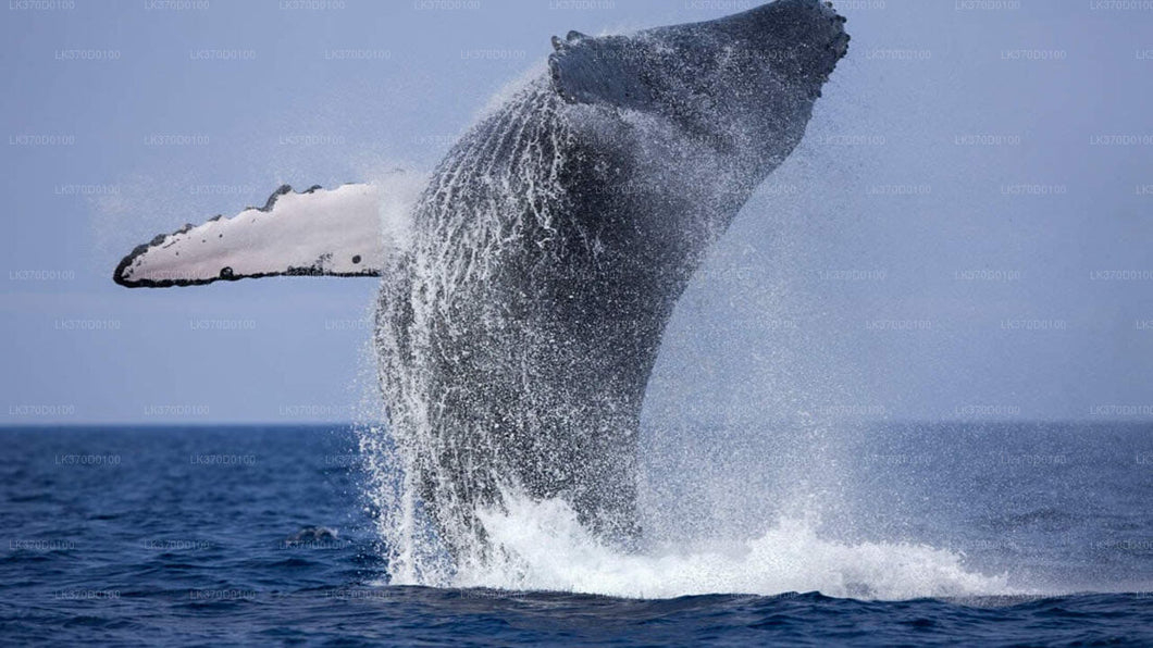 Whale Watching Boat Tour from Bentota