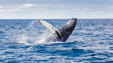 Load image into Gallery viewer, Whale Watching Boat Tour from Bentota