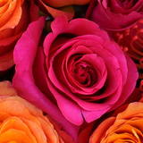 Dark pink rose, sitting next to orange shade