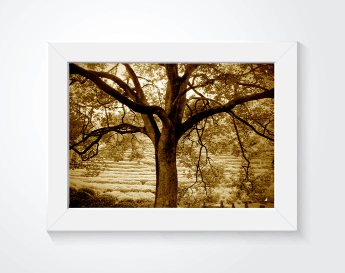 A photography of an old tree in sepia tone hung on a white wall.