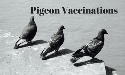 Pigeon Vaccinations