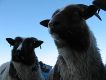 Icelandic Sheep Starter Flocks