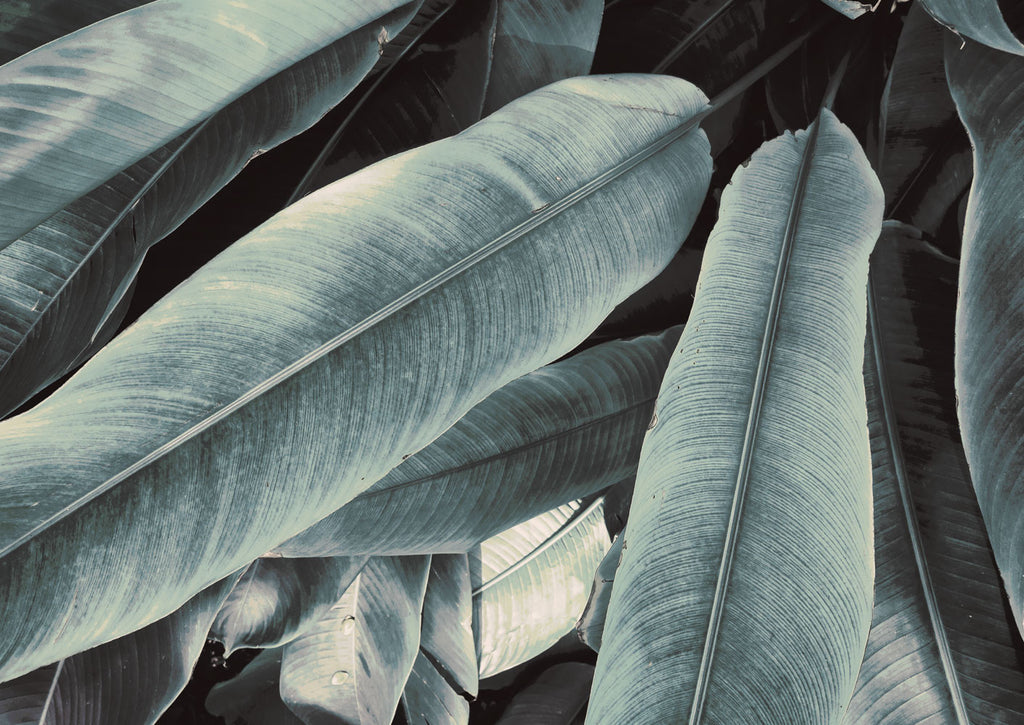 Banana Leaves Study 3