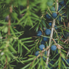 DAY 14: Juniper Berry Essential Oil