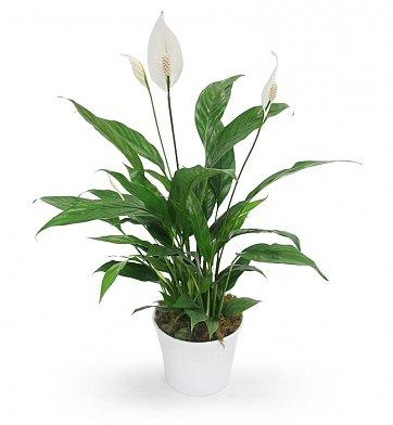 white calla lilly