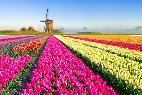flowers in holland