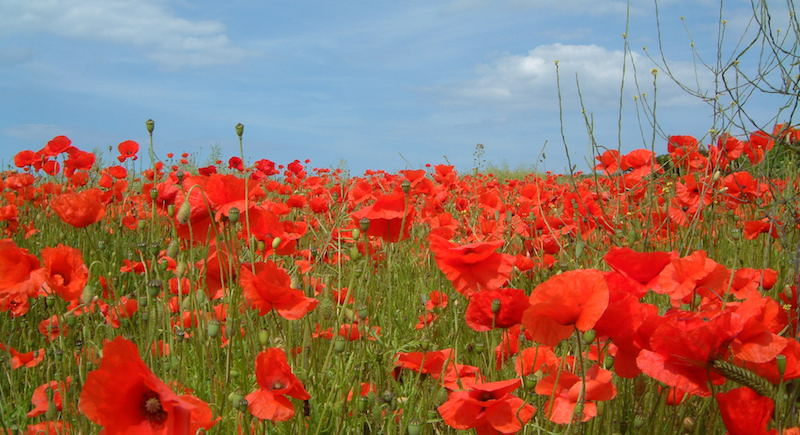 The history of the anzac day poppy lucys florist mightylinksfo