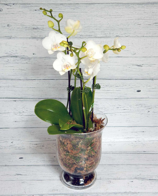 Phalaenopsis Orchid - Glass Pot