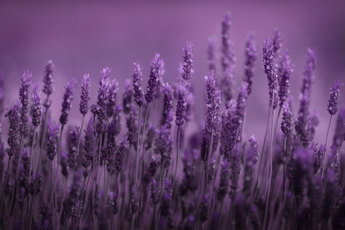 Lavender is a soothing plant known for it's relaxing attributes.  Found in our Relax pain spray and Relax essential oil roller.  Find topical pain relief while enjoying the calming effects of lavender.