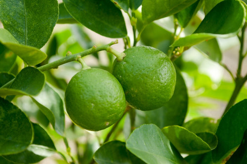 Lime is a stimulant found in our Awake pain relief spray and Awake essential oil roller.
